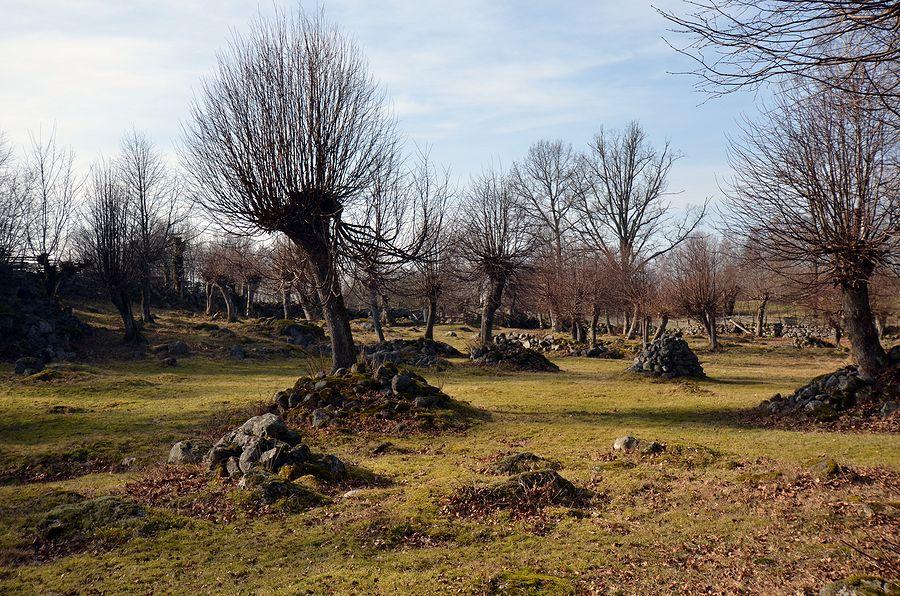Bråbygden. Hage med hamlade träd och massor med stenrösen. Foto Anders Ehrlemark 2014.